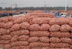 河南杞县2020年大蒜面积达70万亩 年产大蒜96万吨